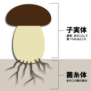 4-1子実体と菌糸体